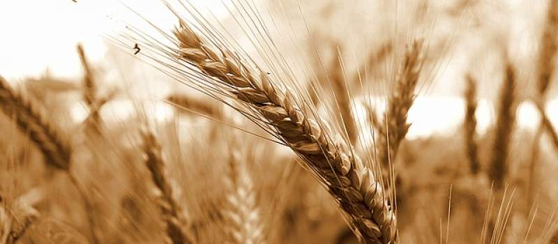 Bolja ponuda pšenice, cena od 22 do 30 din/kg