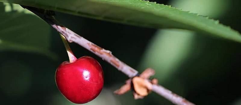 Ova domaća sorta višnje nije toliko poznata, ali je zato veoma zdrava