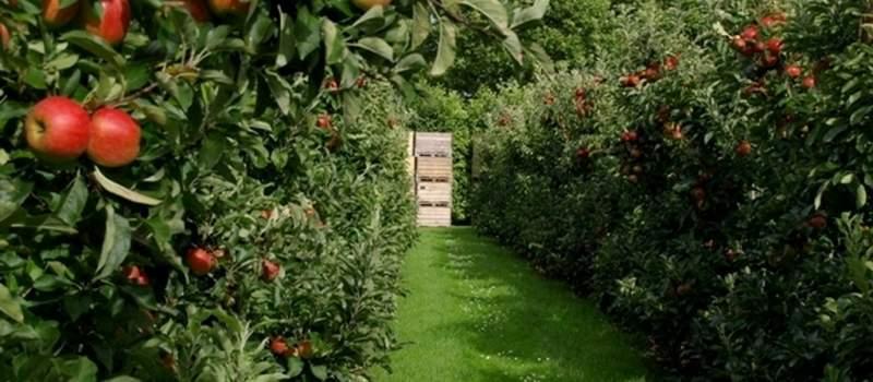 Otrovne jabuke iz Italije preplavile Srbiju?