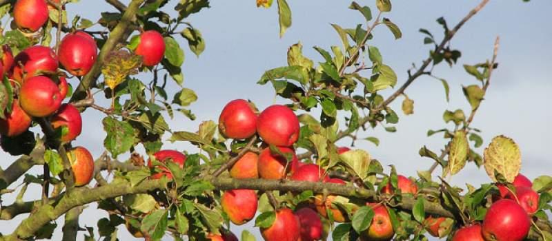 Rekordan rod jabuka, malina, jagoda i grožđa