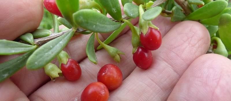 Biznis ideja: Godži bobice mogu da donesu i do 60 hiljada evra