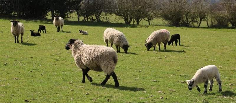 Sajber čobani su budućnost: Nišlija napravio robota - pastira