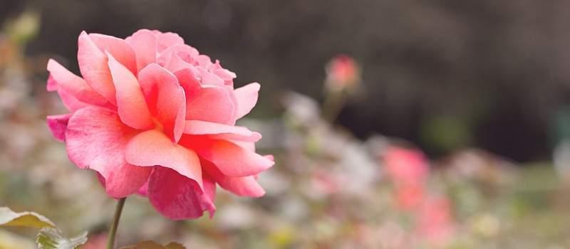 Pored juga Francuske, Srbija je najbolje podneblje za gajenje ruža