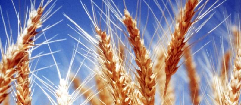 Žetva pšenice u punom jeku, tržište usporeno