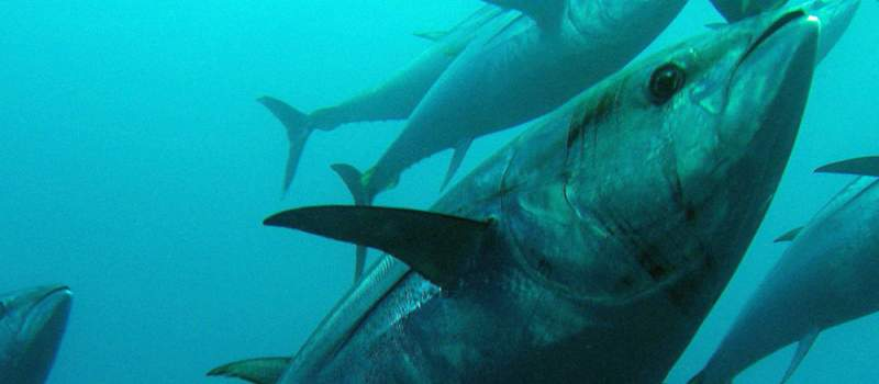 Japanac dao 1,76 miliona dolara  za tunu (VIDEO)